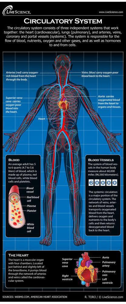 human circulatory system diagram   works