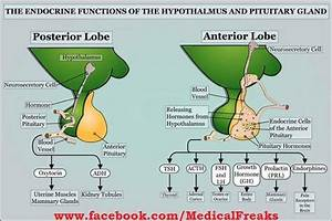 Endocrine Hormone Function Chart Pituitary Gland Functions Medicine Helpful Medical