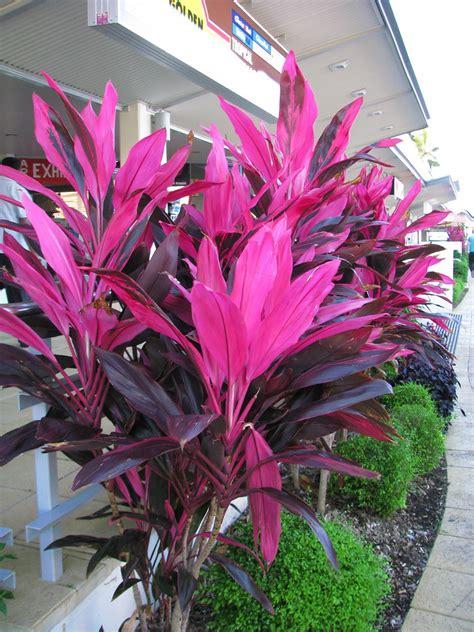 Cordyline fruticosa variegated cultivar | Downtown Cairns ...