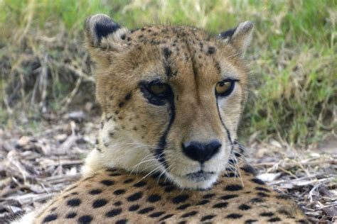 10 Reasons Why Cheetahs Deserve Our Attention