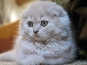 scottish fold cat scottish folds zacopedia