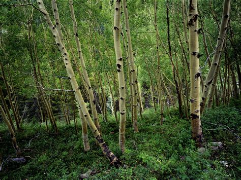 Wallpaper With Birch Trees Wallpapersafari