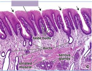 Filiform Papillae On Tongue