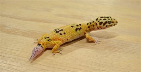 do leopard geckos shed their tails what to do if your leopard gecko losses its