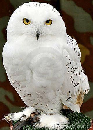 white owl royalty  stock image image