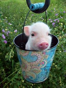 cute adorable wow pigs baby animals small piglets teacup ...