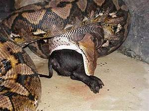 The Biggest Snake In the World! (BIGGEST SNAKE IN THE ...