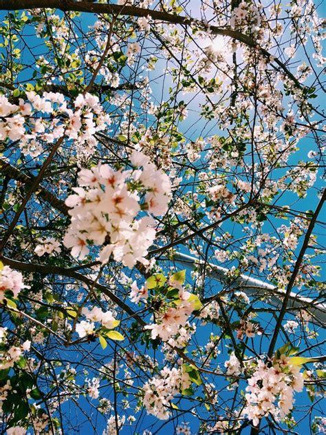 selinaa cherry blossom wallpaper nature
