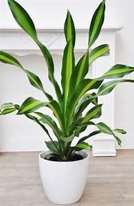 Bambus Pflege Zimmerpflanze : drachenbaum burley drachenb ume pflanzen der palmenmann ~ Frokenaadalensverden.com Haus und Dekorationen