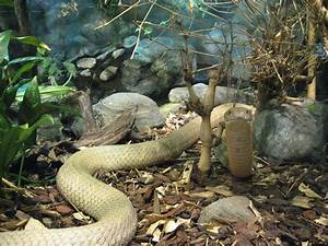 white king cobra | Most Venomous Snake