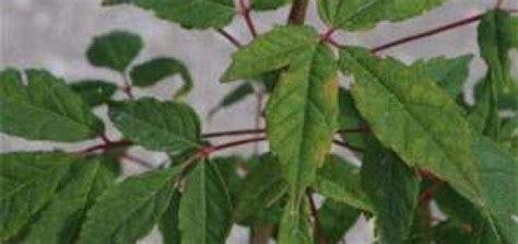 Kļava Mandžūrijas /Acer mandschuricum/ - Lapu koki, krūmi ...