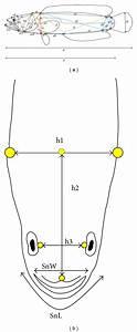 Schematic Diagram Of 38 Morphometric Measurements Of