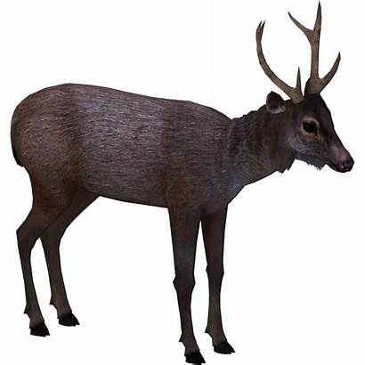 Sambar Deer Indian