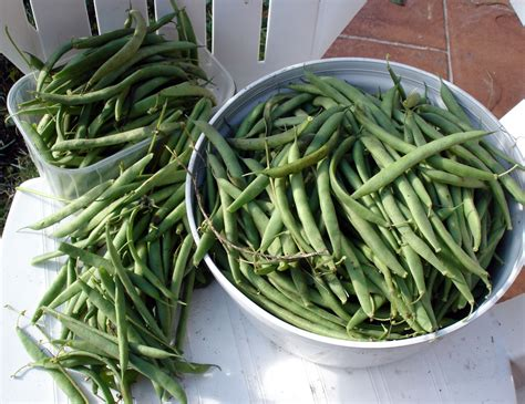 cuisiner flageolet la dernière récolte de flageolets potagerdurable com