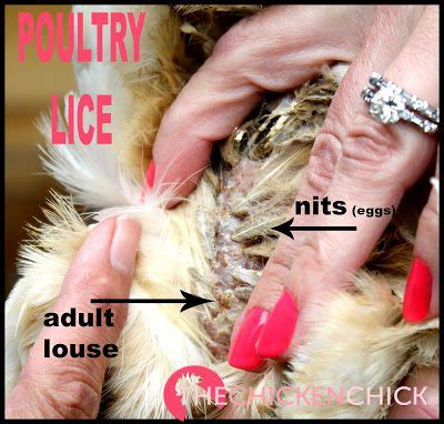 Lice and Mites On Chickens
