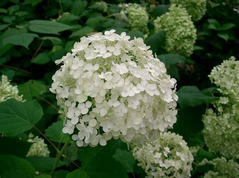 hydrangea arborescens annabelle hydrangea annabelle ramblin through dave s garden