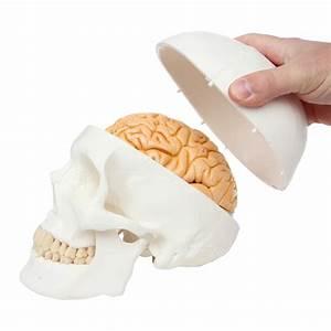 Buy Axis Scientific 8 Part Deluxe Human Brain With