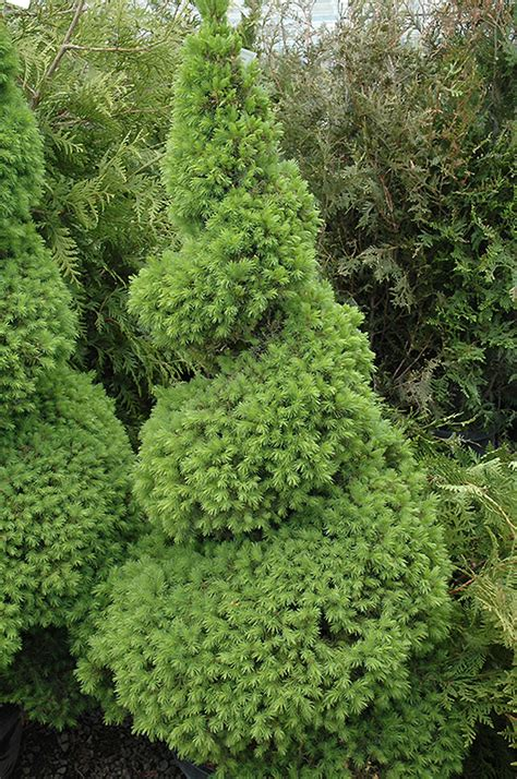 alberta spruce dwarf alberta spruce picea glauca conica spiral in issaquah seattle bellevue redmond