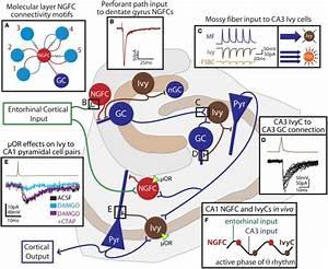 Feedforward Network Functions Of Neurogliaform Family Cells In The