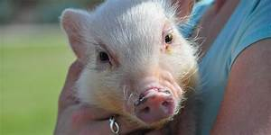 Pigs Are Highly Social And Really Smart  So  Um  About