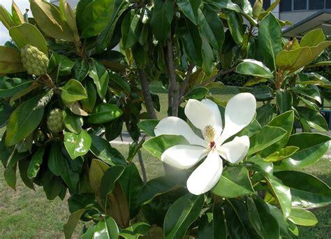 magnolia tree australia australian magnoliaceae