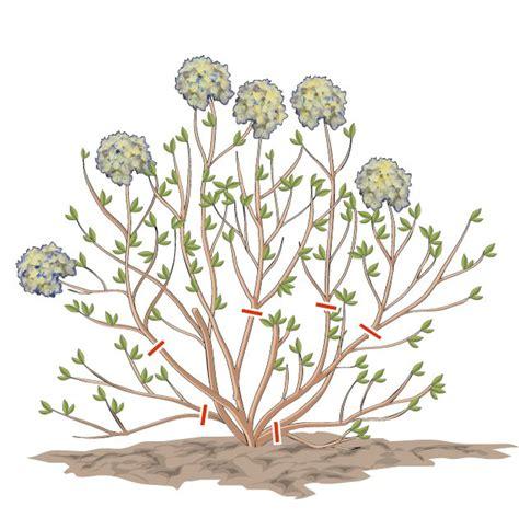 fiori secchi ortensie potare le ortensie cose di casa