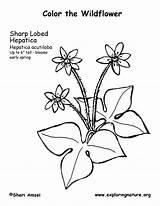 Hepatica Sharp Coloring Lobed sketch template
