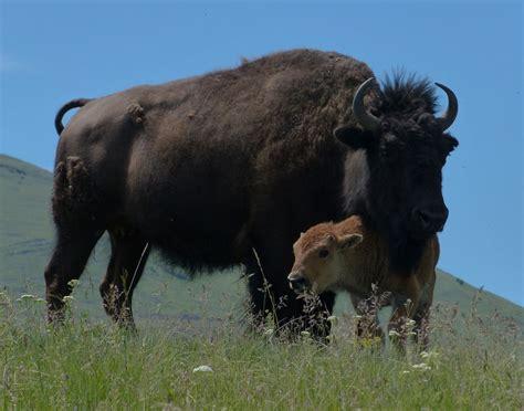 Mom. | Bison & Calf, National Bison Range, Moiese, Montana ...