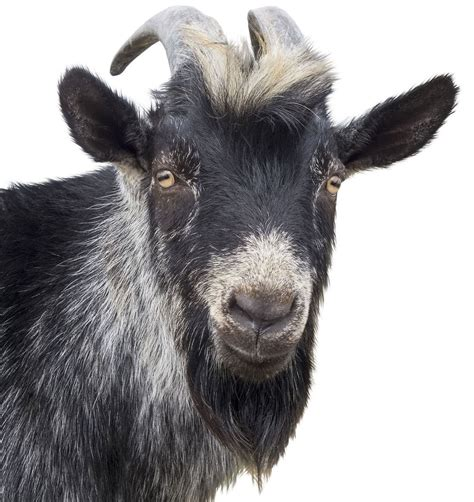 goats beard the best beards of 2015 turns out it s all goats from zack