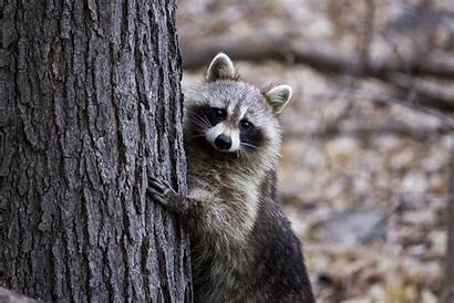 Raccoon Tree Behind Hiding Animals Animal Wildlife
