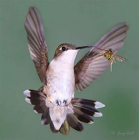 hummingbirds in flight eating quotes quotesgram