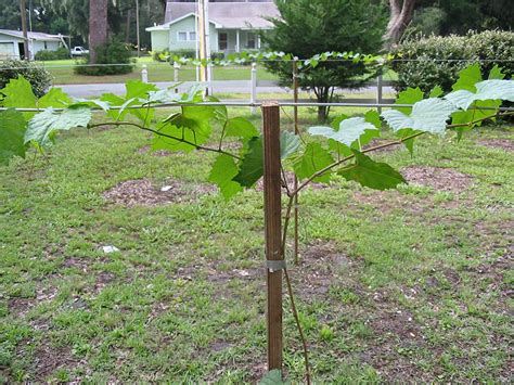 muscadine trellis design design grapevine grape trellis muscadine grape trellis backyard farming the natural way
