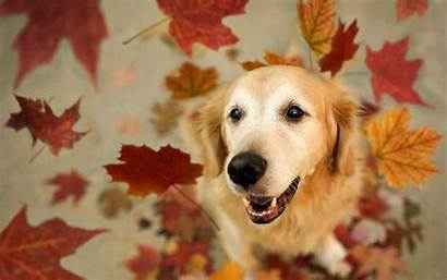 Dog Autumn Dogs Leaves Fall Golden Retriever
