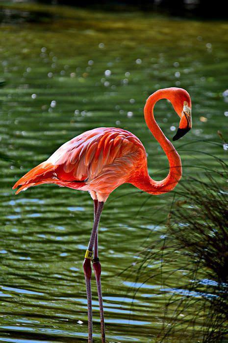 real photography flamingo flamingo art pink