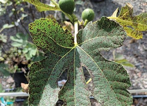 fig florida leaf rust tree trees brown turkey problems growing