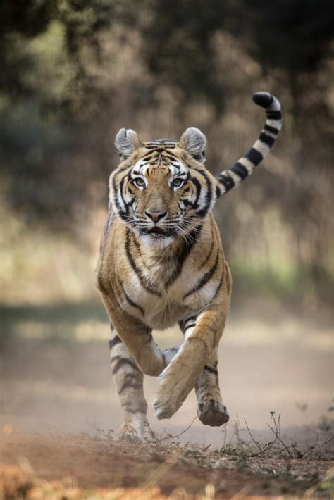 tigers  action animal planet