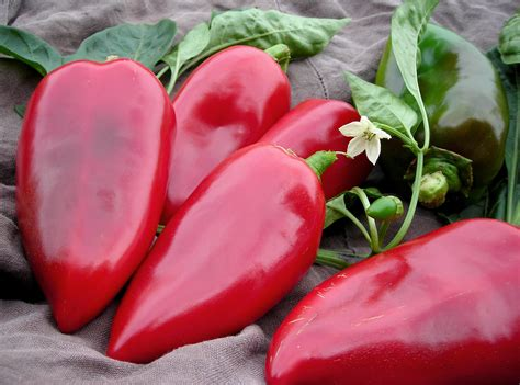 Lipstick Sweet Pepper, 0.3 g : Southern Exposure Seed ...