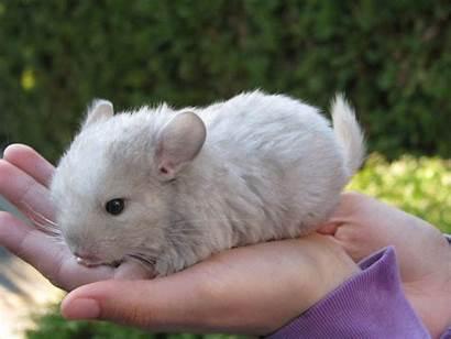 Chinchillas Chinchilla Babys Google Babies Animal Animals