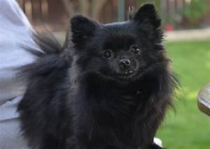 Dog Grooming Pomeranian Outer Coat - Hot Girls Wallpaper