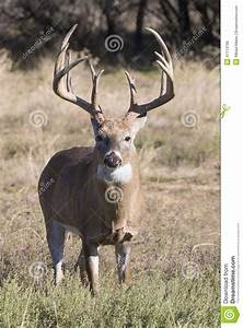 Huge Typical Whitetail Buck With Extra Tall Tines Stock ...