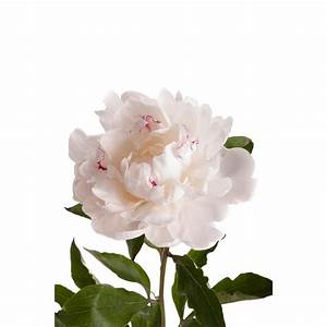 White with Red Peonies - Peonies - Types of Flowers