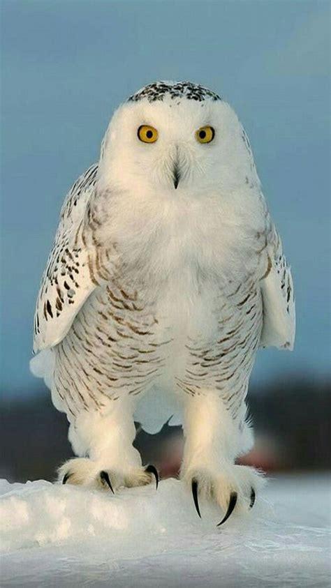birds  prey raptor snowy owl birds nocturnal