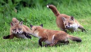 Fox Cubs with mum by Richard Austin | richardaustinimages