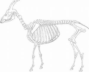 """Goat Skeleton"" by Andsol 