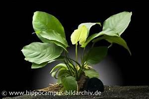 Pflanzen Auf Stein : anubias barteri auf wurzel mit sauger aquariumpflanzen pflanzen auf holz stein ~ Frokenaadalensverden.com Haus und Dekorationen