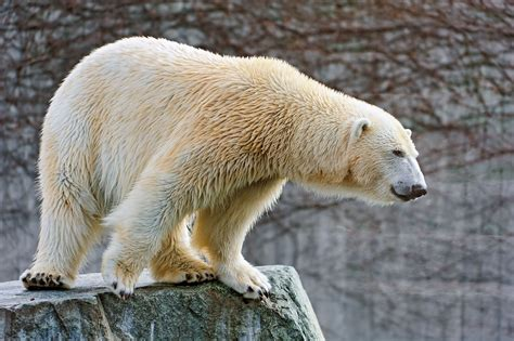 Polar Bear 4k Ultra Hd Wallpaper