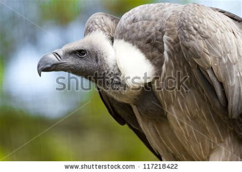 vultures are birds of prey of the order falconiformes