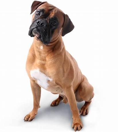 Dog Boxers Boxer Dogs Disease Sitting Edu