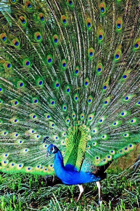 fine hd wallpapers   hd wallpapers peacock