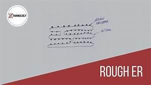 How To Draw Rough Endoplasmic Reticulum  Histology